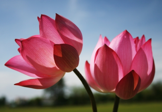 Beautiful-Nature-Wallpaper-with-Two-Lotus-Flowers-in-Pink